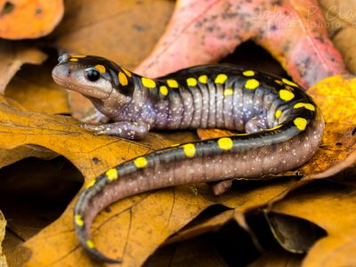 gevlekte salamander