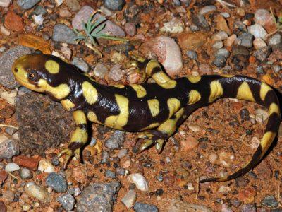 tijgersalamander