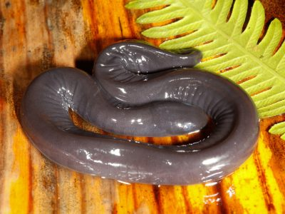 waterwormsalamander