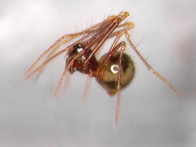 dwergkogelspinnen (4)