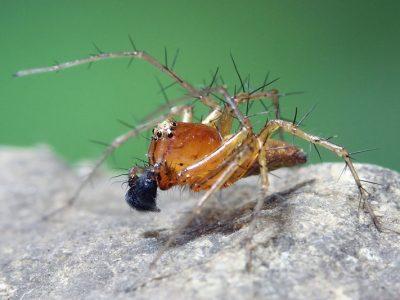lynxspinnen (3)
