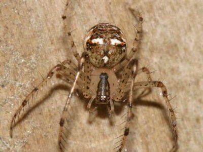 spinneneters (5)