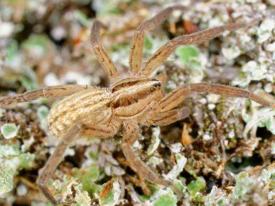 stekelpootspinnen (3)
