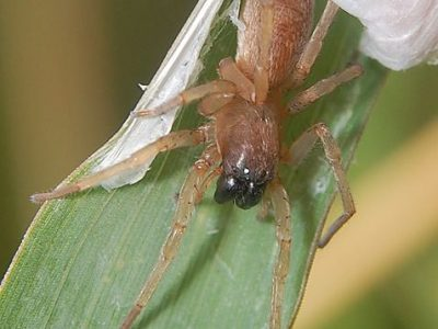 struikzakspinnen (1)