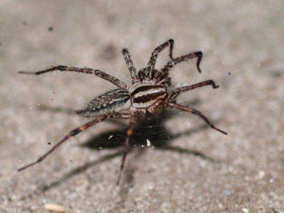 trechterspinnen (4)