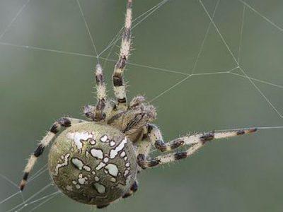 wielwebspinnen (5)