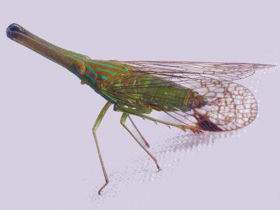 cicaden-1