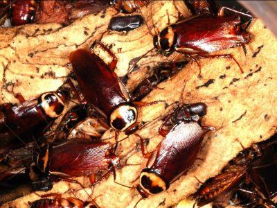 Australische kakkerlak