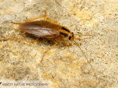 Aziatische kakkerlak