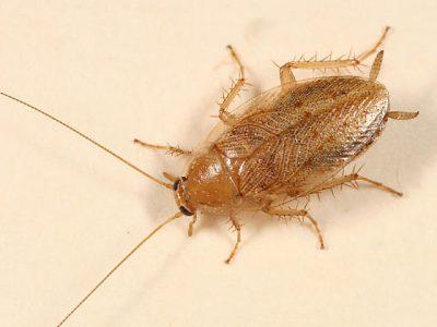 bleke-kakkerlak-4