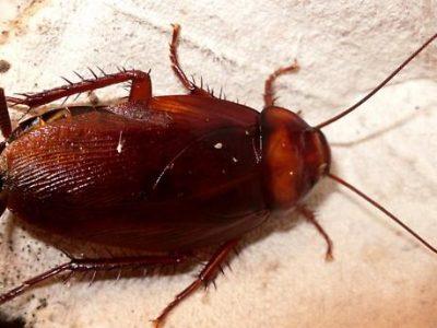 bruine kakkerlak