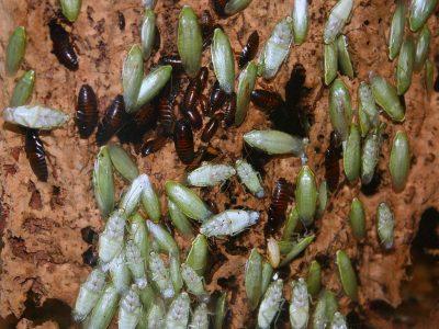 groene banaankakkerlak