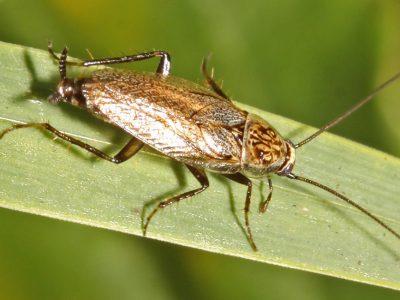 heidekakkerlak