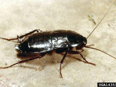 oosterse kakkerlak