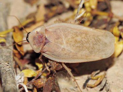 woestijnkakkerlak