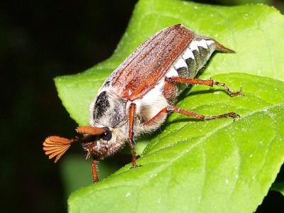 bladsprietkevers-3