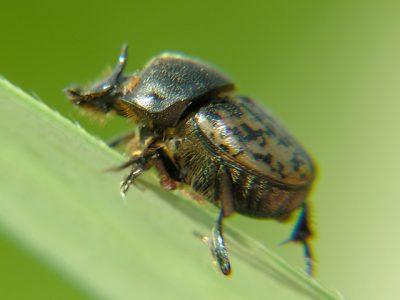 rechthoornpillendraaier (1)