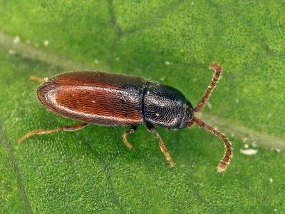 dwergschimmelkevers-1