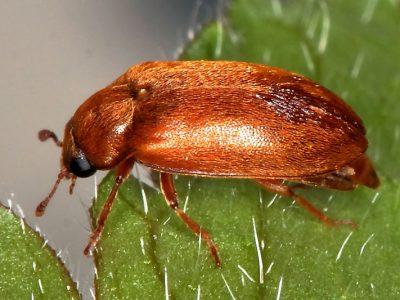 frambozenkevers-1