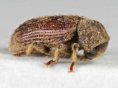 klopkevers-4