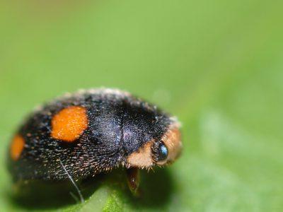 behaard lieveheersbeestje (5)