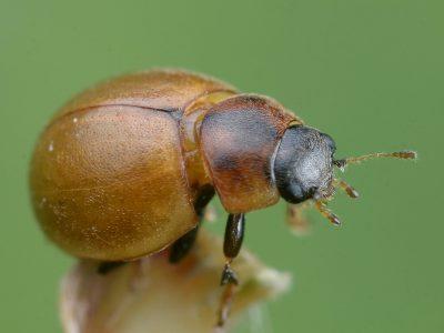 onbestippeld lieveheersbeestje (2)