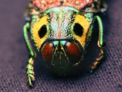 prachtkevers-3