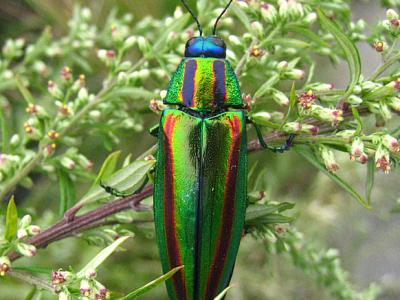 prachtkevers-5