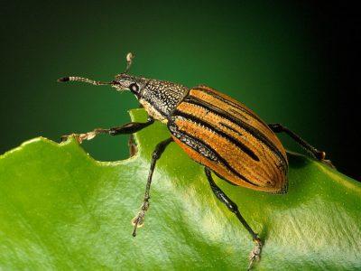 snuitkevers-2