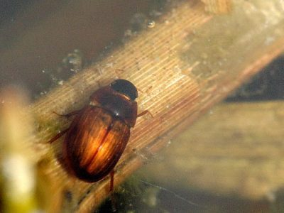 spinnende waterkevers-1
