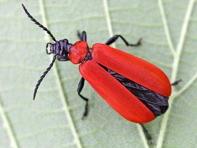 zaagsprietkevers-1