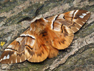 gevlamde vlinders-5