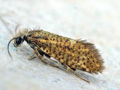 purpermotten-1