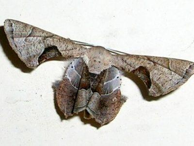 uraniavlinders-4