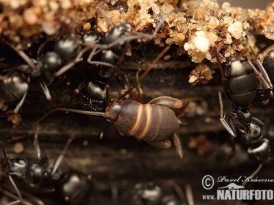 mierenkrekels-3