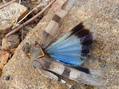 blauwvleugelsprinkhaan-3