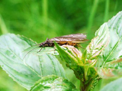 borstelsteenvliegen