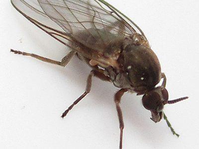 kriebelmuggen-1