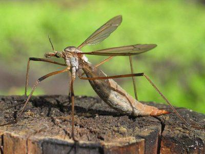 langpootmuggen-1