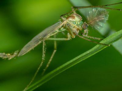 pluimmuggen-5