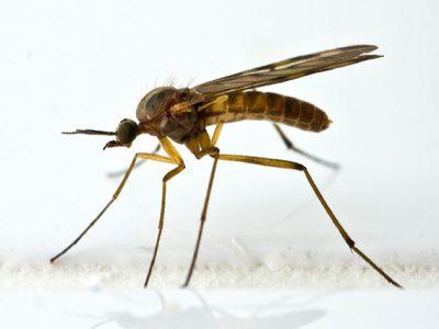 venstermuggen-1