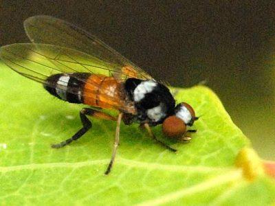 breedvoetvliegen-2