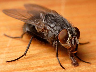 bromvliegen-1