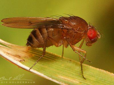 fruitvliegen-3