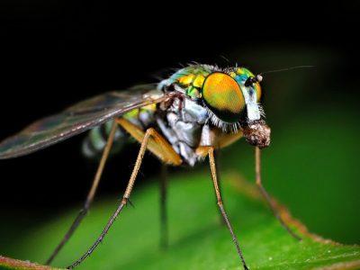 slankpootvliegen-4