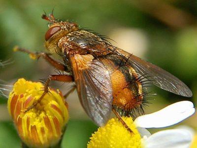 sluipvliegen-2