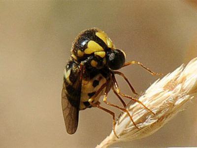 spinvliegen-3