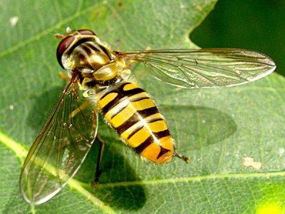 zweefvliegen-1