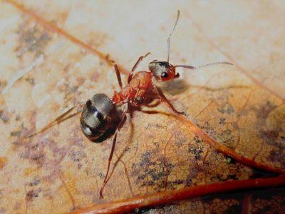 mieren (3)
