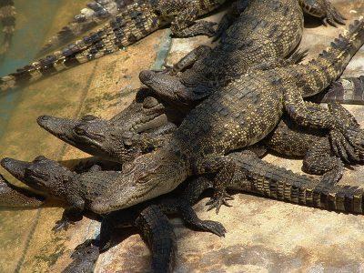 Siamese krokodil
